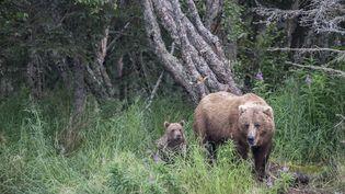 Un ours en Alaska, le 24 mai 2019. (ROBERT HAASMANN / BIOSPHOTO / AFP)