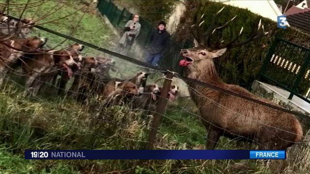 Oise : les habitants de Bonneuil-en-Valois sauvent un cerf traqué et blessé lors d'une chasse à courre v2
