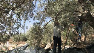 La récolte des olives en Palestine bat son plein, le 25 octobre 2021. (ALICE FROUSSARD / RADIO FRANCE)