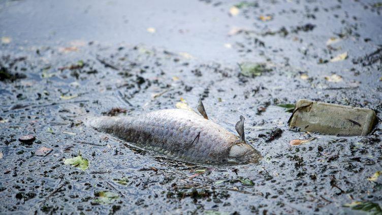 Un poisson mort dans l'Escaut, près de Valenciennes, le 1er mai 2020 (photo d'illustration). (MAXPPP)