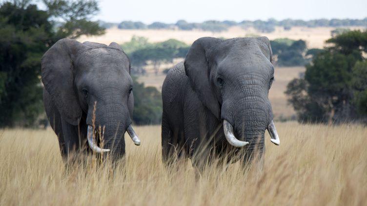 Un couple d'éléphants au Zimbabwe.Les autorités américaines ontréautorisé les chasseurs à importer des trophées d'éléphants tués dans ce pays. (CHRISTIAN ENDER / PICTURE ALLIANCE / AFP)