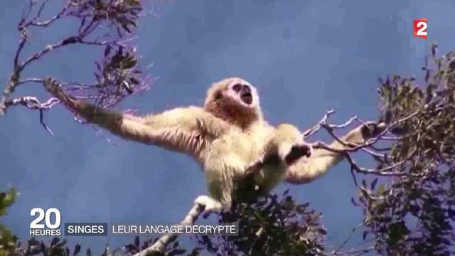 Le langage très élaboré des gibbons