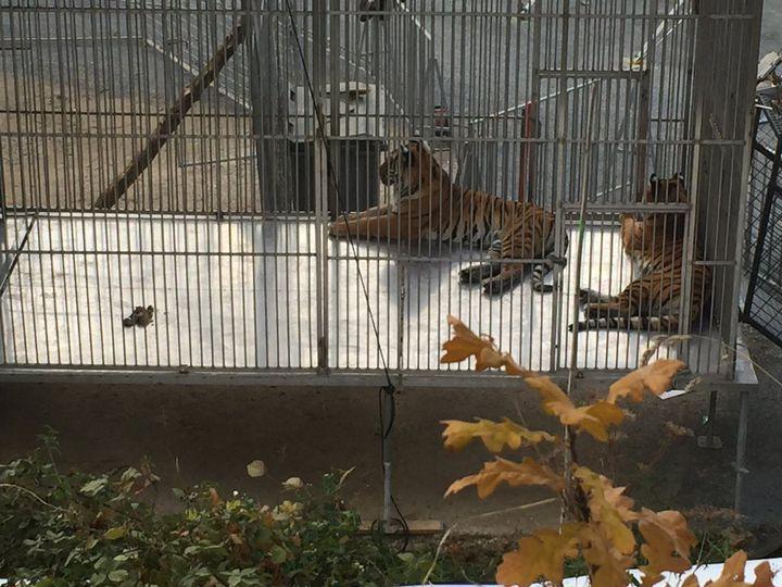 Des tigres du cirque Bormann dans leur cage, dans le XVe arrondissement de Paris, le 24 novembre 2017. (ALEXANDRE LECHENET / FRANCE TELEVISIONS)