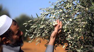 L'un des rares spécimens d'olivier Olea Ieucocarpa, plantés par les colons italiens dans la région de Tarhouna (nord-ouest de la Libye). (MAHMUD TURKIA / AFP)
