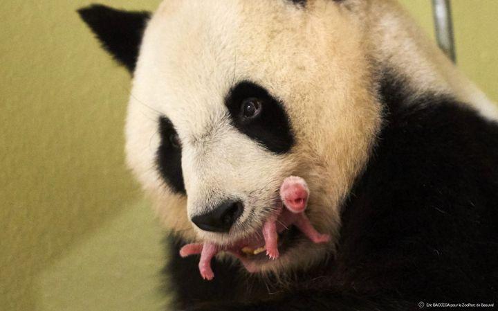 Le bébé panda du zoo de Beauval à sa naissance, avec sa maman, en août 2017. (Eric Baccega - ZooParc de Beauval)