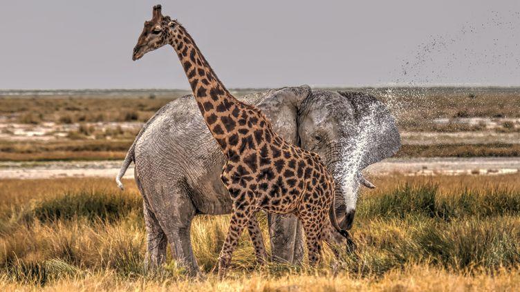 Une girafe est aspergée par un éléphant dans le Etosha National Park en Namibie. Le pachyderme n'apprécie apparemment pas de voir l'animal au long cou passer si près de lui... Photo prise le 21 novembre 2018. (CEZARY FILEW/SOLENT NEWS/SIPA / SOLENT NEWS & PHOTO AGENCY)