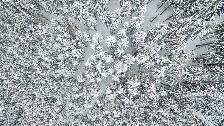 Un peu plus loin, mais toujours à proximité deSchulenberg (Allemagne), des pins sont recouverts de neige le 17 janvier 2017. (JULIAN STRATENSCHULTE / DPA / AFP)