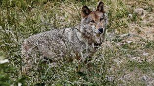 Un loup dans le parc du Gévaudan, àSaint-Léger-de-Peyre (Lozère),le 22 juin 2015. (MAXPPP)