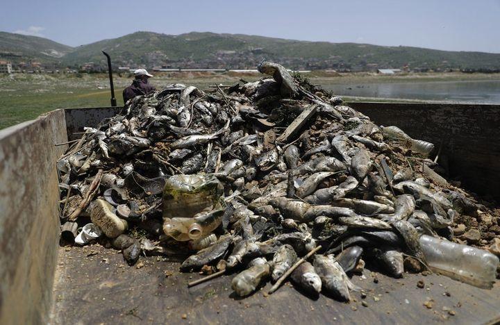 Un travailleur récupère des carpes mortes, échouées dans le lacQaraoun au Liban, le 29 avril 2021. (JOSEPH EID / AFP)