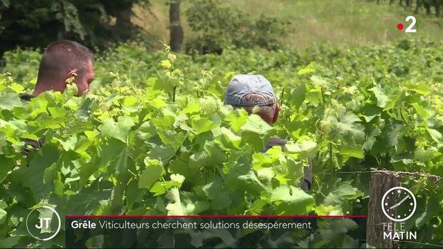 Haute-Garonne : des vignobles du frontonnais détruits par les orages et les tempêtes de grêle