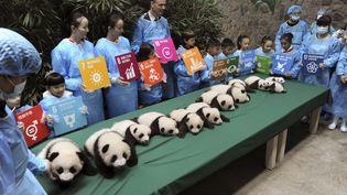 Des bébés pandas géants montrés au centre de recherche de Chengdu, dans la province du Sichuan (Chine), le24 octobre 2015. (CHINA DAILY / REUTERS)