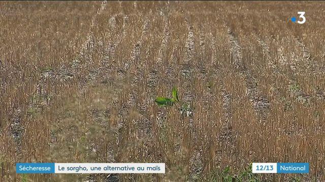 Sécheresse : le sorgho, une alternative au maïs