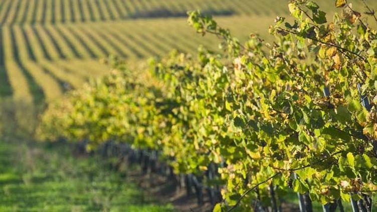 (James-Bernard Murat a pulvérisé de l'arsénite de Sodium pendant 42 ans sur ses vignes en Gironde © MAXPPP)