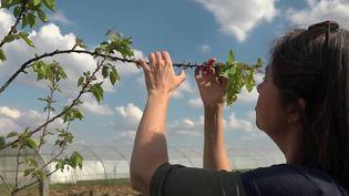Intempéries : des agriculteurs à la recherche de plantes résistantes aux aléas climatiques (France 2)
