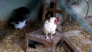 Vingt-deux volailles ont été touchées en Dordogne par lagrippe aviairea annoncé le ministère de l'Agriculture mercredi 25 novembre 2015. (MAXPPP)