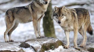 Des loups au parcSainte-Croix, à Rhodes (Moselle), le 12 décembre 2012. (JEAN-CHRISTOPHE VERHAEGEN / AFP)