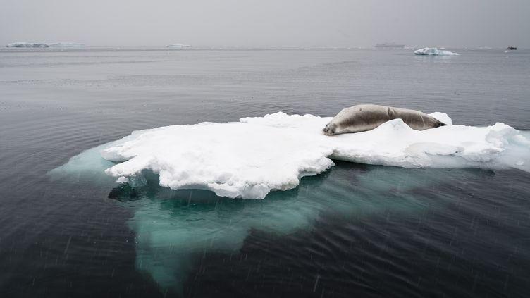 Un phoque se prélasse sur un iceberg, le 20 mars 2016, en Antarctique.  (SERGIO PITAMITZ / DELTA IMAGES / AFP)