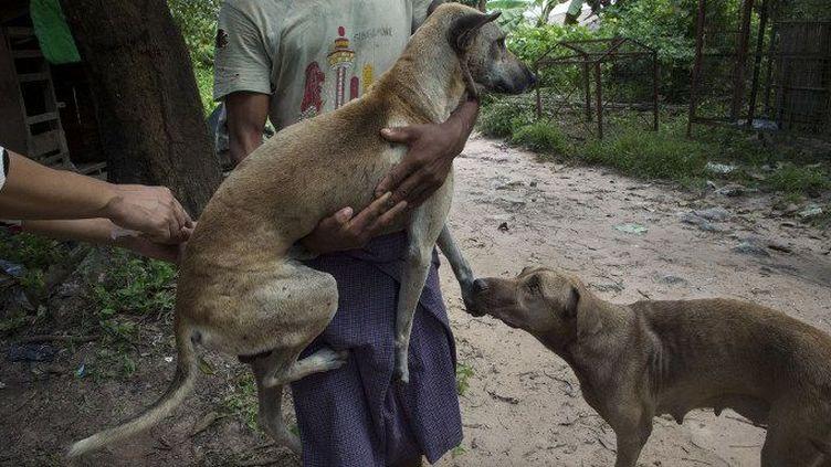 Un bénévole recueille les chiens errants pour les vacciner dans un refuge privé dans Thanlyin, à la périphérie de Rangoun. (REMKO DE WAAL / ANP MAG / ANP)