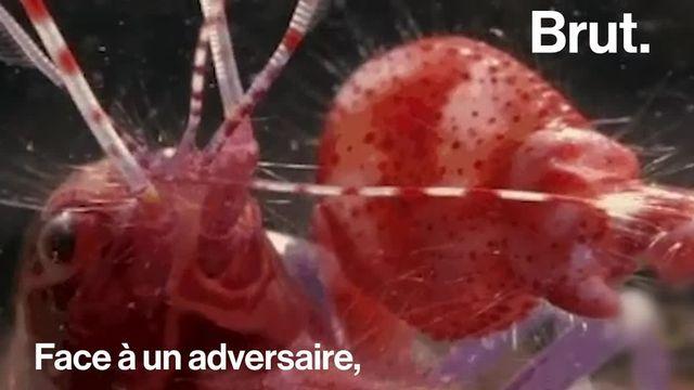 Ce petit crustacé possède une arme redoutable.
