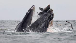 Un lion de mer dans la gueule d'une baleine à bosse au large de la Californie (Etats-Unis), le 22 juillet 2019. (CHASE DEKKER / AFP)
