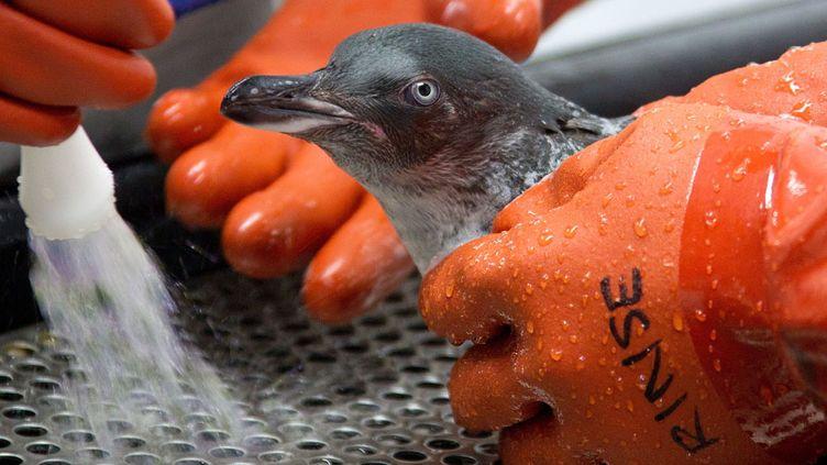 Un manchot souillé par du mazout est nettoyé par un soigneur en Nouvelle-Zélande, le 18 octobre 2011. (MARTY MELVILLE / AFP)