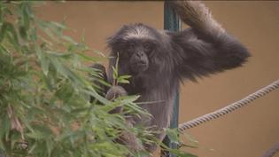 Lulu, une femelle gibbon de Müller de 60 ans, auparc de la Tête d'Or à Lyon. (FRANCE 3)
