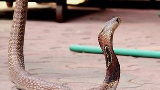 Un cobra s'est échappé d'un appartement de la ville d'Herne en Allemagne, dimanche 25 août. Une disparition qui sème la terreur chez les habitants. (CAPTURE ECRAN FRANCE 2)