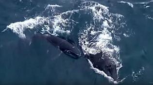 Capture d'écran montrant la baleine à bosse et son bébé au large deNorah Head, en Nouvelle-Galles du Sud (Australie), le 4 novembre 2015. (TIMES OF OMAN / YOUTUBE)