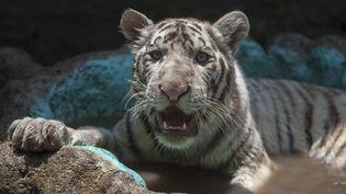 """Un tigre du Bengale de 7 mois, baptisé """"Gignac"""" en l'honneur du footballeur français,dans son enclos du zoo La Pastora à Monterrey (Mexique), le 14 août 2017. (JULIO CESAR AGUILAR / AFP)"""