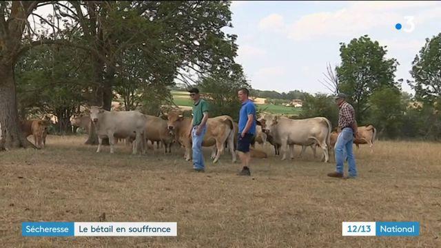 Sécheresse : le bétail souffre