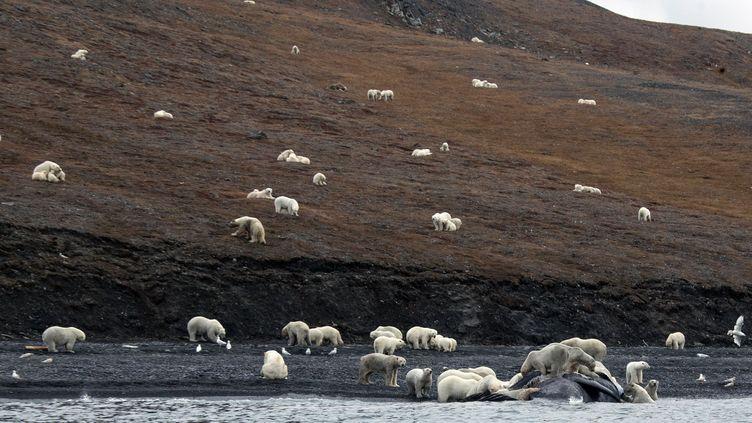 Des ours rassemblés autour de la carcasse d'une baleine échouée sur l'île de Wrangel, à l'est de la Russie, le 19 septembre 2017. (MAX STEPHENSON / AFP)