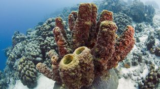 L'homme jouit des bénéfices de la biodiversité, notamment lorsque celle-ci lui permet de progresser dans le domaine médical, comme ici deséponges de mer, photographiées aux Antilles. (PETE OXFORD / MINDEN PICTURES / AFP)