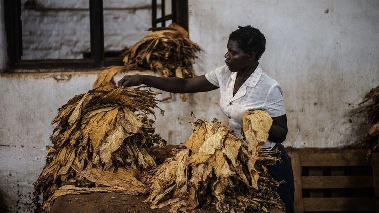 Une employée trie les feuilles de tabac dans une ferme de Zomba, au Malawi en mai 2014. (GIANLUIGI GUERCIA / AFP)