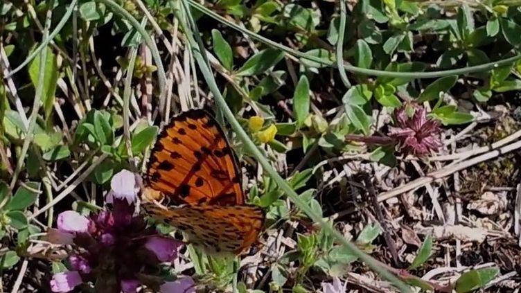 Italie : l'île d'Elbe, un sanctuaire pour les papillons (France 2)