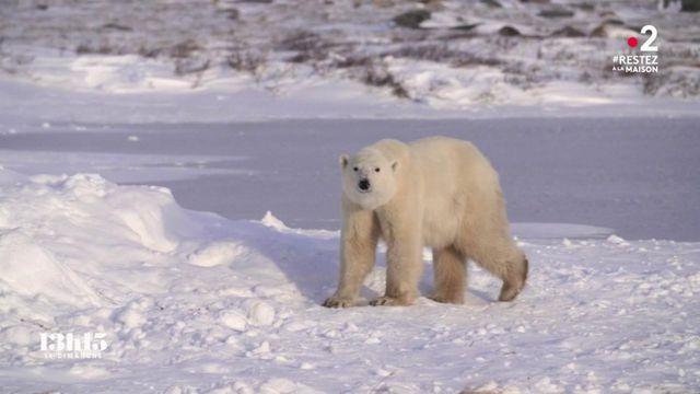 """VIDEO. Canada : """"La population d'ours polaires a diminué de 24% en trente ans dans la baie d'Hudson"""""""