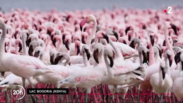Kenya : le refuge des flamants roses menacé par la déforestation