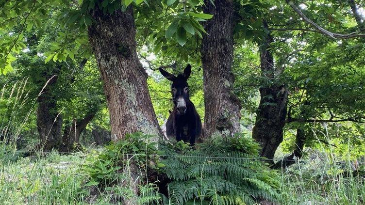 Un des ânes de Tom Boyer, dans son élevage du village de Molezon, en Lozère. (BORIS LOUMAGNE / RADIO FRANCE)