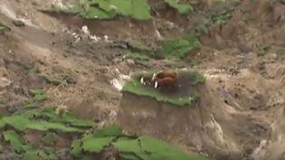 Capture d'écran d'une vidéo montrant des vaches réfugiées sur un promontoire après le séisme en Nouvelle-Zélande, le 14 novembre 2016. Letremblement de terre de magnitude 7,8 a fait deux morts et de très importants dégâts. (NEWSHUB / YOUTUBE)