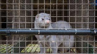 Un vison dans une cage de l'élevage de visons à Montarlot-lès-Rioz (Haute-Saône). Photo d'illustration. (JEAN-FRANÇOIS FERNANDEZ / FRANCE-BLEU BESANÇON)