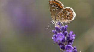 Le papillon azuré est en voie de disparition. (CHRISTIAN WATIER / MAXPPP)
