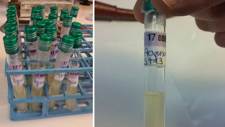 Les souches de 2005 de Salmonella agona conservées par l'Institut Pasteur. (Laetitia Cherel)