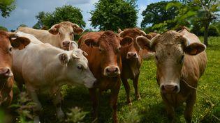 Un troupeau de vaches, dans un champs à Tilly-sur-Seulles (Calvados), le 8 juin 2019. (ARTUR WIDAK / NURPHOTO / AFP)