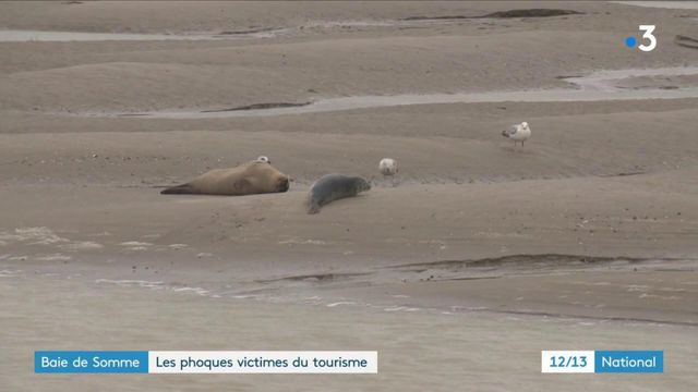 Baie de Somme : les phoques victimes du tourisme