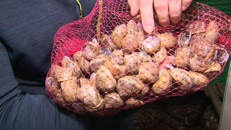 Les éleveurs d'escargots se préparent pour le printemps et la phase de reproduction. (FRANCE 3 / CAPTURE D'ECRAN)
