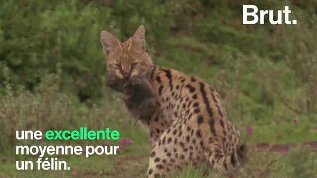Ce prédateur se distingue notamment par sa petite taille.