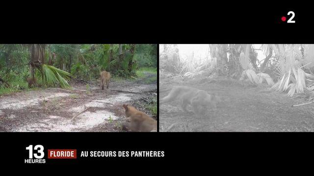 Floride : au secours des panthères