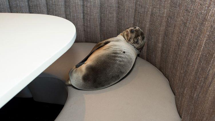 Le bébé otarie de huit mois découvert dans la salle d'un restaurant de San Diego (Californie, Etats-Unis), jeudi 4 février, fait une sieste sur une banquette. (REUTERS)