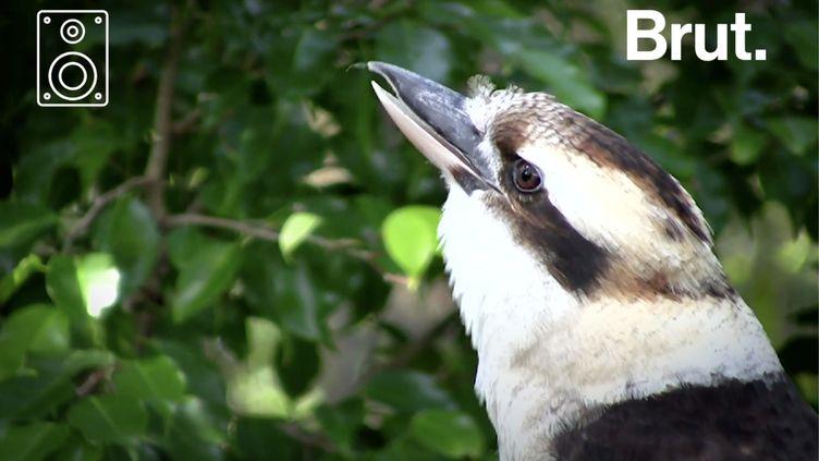 VIDEO. Souvent utilisé comme son d'ambiance dans des films, voici le cri du petit Kookaburra rieur (BRUT)