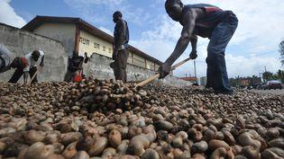 Des travailleurs étalent des noix de cajou pour lesfaire sécher, le 5 mai 2013 à Abidjan (Côté d'Ivoire). (SIA KAMBOU / AFP)