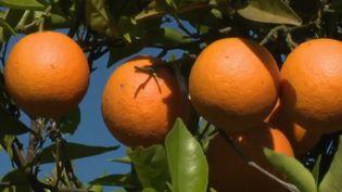 Alors que l'Europe regorge de producteurs espagnols, les oranges sont importées massivement d'Afrique du Sud ou du Maroc. Les prix sont moins élevés, mais les fruits parcourent des milliers de kilomètres. (FRANCE 2)